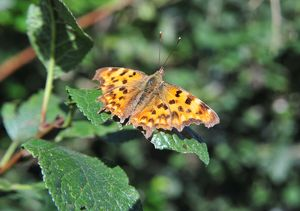 CJ1 8841 Comma butterfly A4 ratio