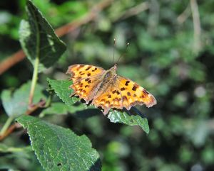 CJ1 8841 Comma butterfly, Polygonia c-album, Imperial ratio