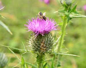 CJ6 5920 Bee on a thistle