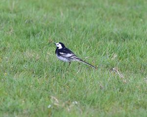 CM18 3845 Pied Wagtail