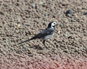 CM4 0710 Pied Wagtail, gravel trap